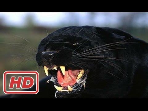 Documentary 2017 Big Wild Cats (DOCUMENTARY)