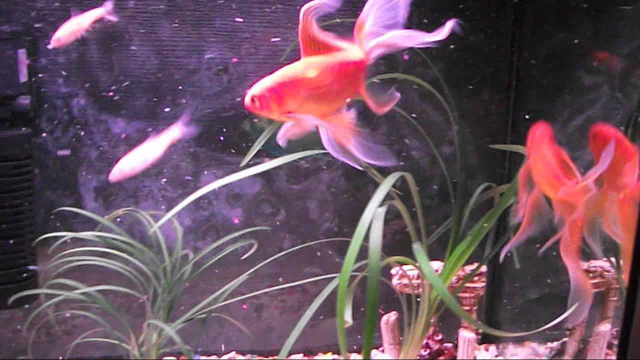 355aadc0373f ColdWater Sub Tropical GoldFish Comets Shubunkins Cloud   Fathead Minnows  Best Comet Finnage Ever