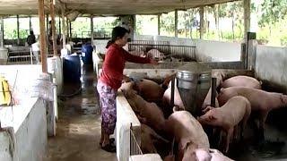 Tin Tức 24h : Giá lợn hơi tại Đồng Nai giảm mạnh sau vụ phát hiện tiêm thuốc an thần