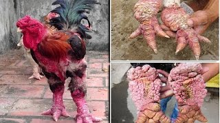 Dragon Chickens Of Vietnam  Dong Tao Chickens Has The Weirdest Legs And Can Cost A Staggering £1,600