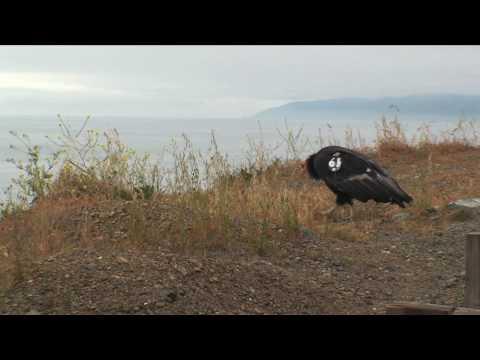 California Condor in Big Sur