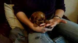 4 Week Old Ruby Cavalier King Charles Spaniel Puppy Tilly