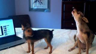 Video Chihuahua imitates the Geico pig Maxwell commercial - Wee Wee download MP3, 3GP, MP4, WEBM, AVI, FLV Desember 2017