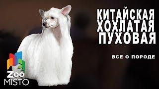Китайская хохлатая пуховая - Все о породе собаки | Собака породы китайская хохлатая пуховая