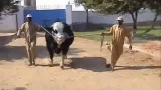 Tufaan for Eid Ul Azha (Bakra Eid) by Shah Cattle Farm, Karachi.