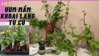 #82 cách trồng khoai lang ươm mầm bằng củ | grow sweet potato from sweet potato