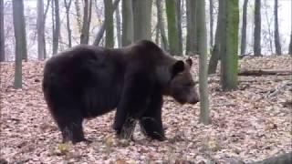 niedźwiedzia jesień