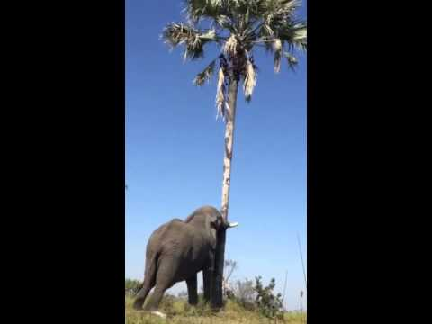 Smart elephant shaking a palm tree for food in Botswana.