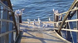 Кампания чаек у берегов Рейна, Аnimals,Tiere !