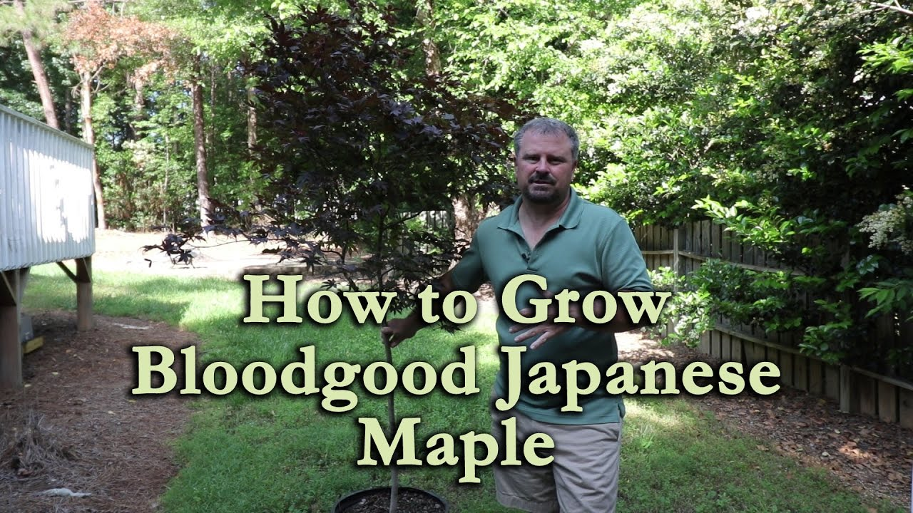 How To Grow Bloodgood Japanese Maple With A Detailed Description
