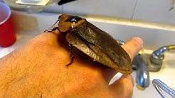 Giant Cockroach ( Blaberus Giganteus )