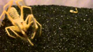 Tarantula Mythbuster Video 44 - Detailed Video of the Camel Spider/Solifugids