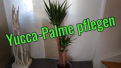 Yucca Palme pflege gießen düngen vermehren schneiden umtopfen Standort Palmlilien