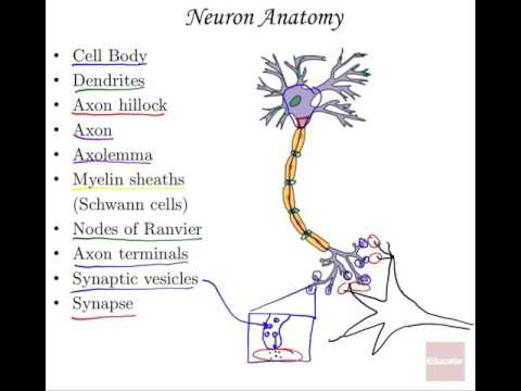 09 Nervous System Part I Neurons Anatomy and Physiology - YouTube