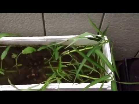 ปลูกผักบุ้งในน้ำ
