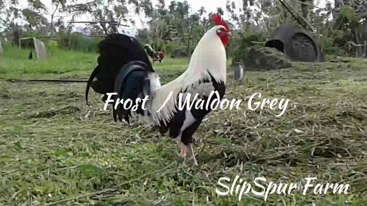 Frost / Waldon Grey cross by Mark Kelley