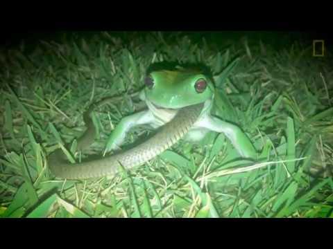 驚悚畫面:這是個蛙吞蛇的世界《國家地理》雜誌