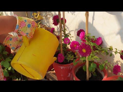 How I Give Flower Booster Liquid Fertilizer To MyPlants || Fun Gardening