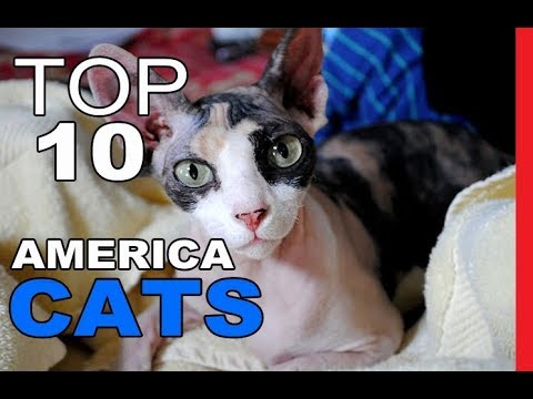 Top 10 Cat Breeds In America