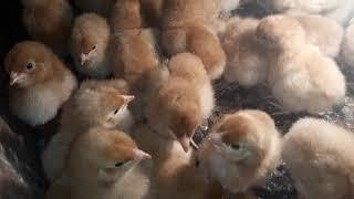 Nowa rasa kur i odhowalnik dla kurczaków.
