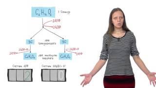 Клеточное дыхание. Лекция 1. Часть 2. Гликолиз и брожение