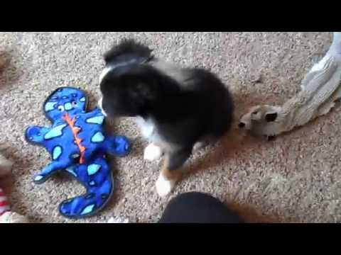 Good toys for mini and toy aussie puppies!