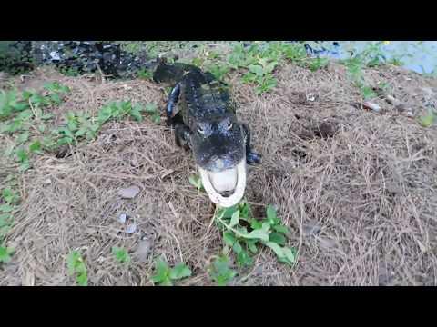 Scott Great Animals Backyard Pet Deer Pet Gator