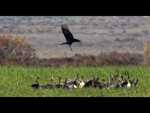 Ворон охотится на гусей и стрепетов! | Film Studio Aves