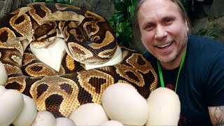 ALL MY PET SNAKES ARE LAYING EGGS!! | BRIAN BARCZYK