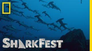 Why Do Sharks Swarm? | SharkFest