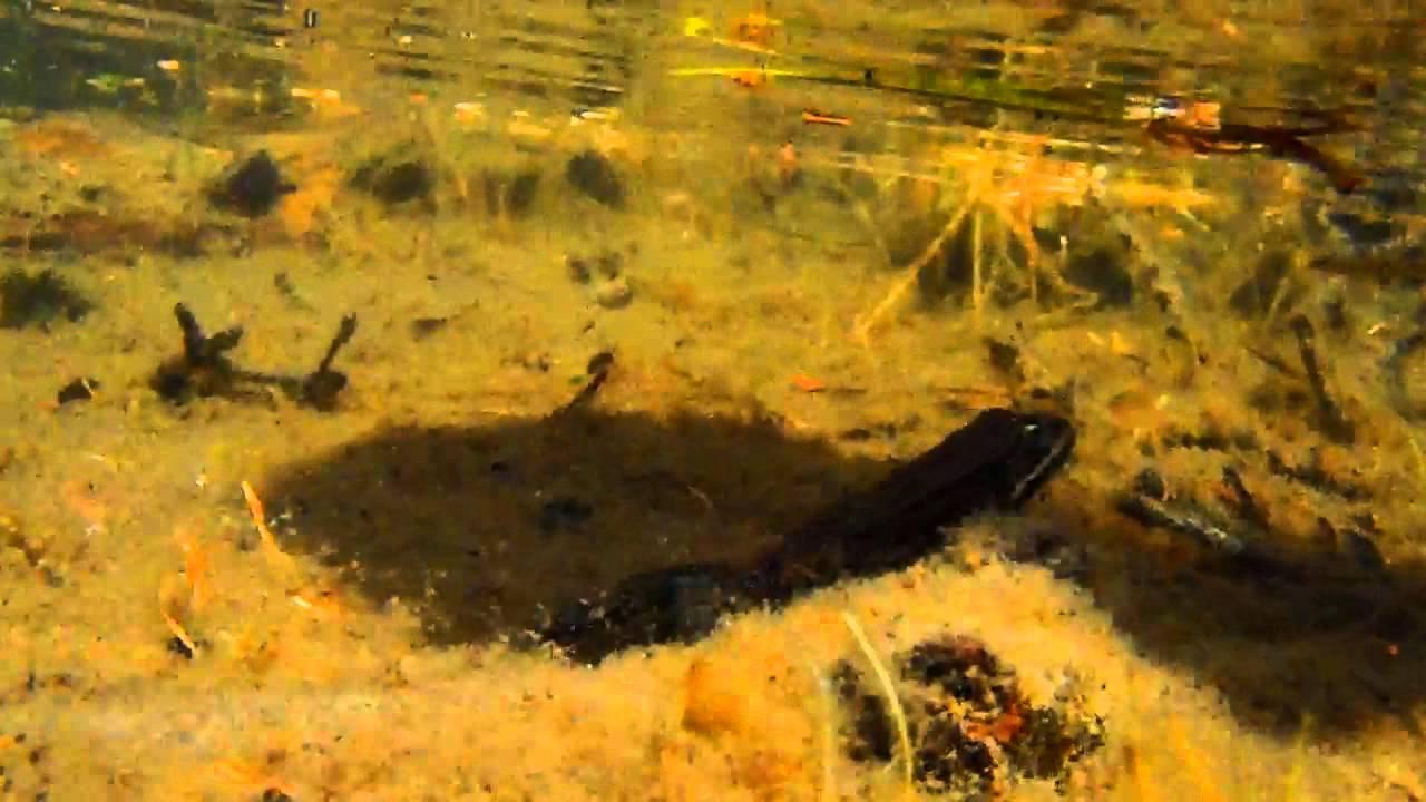 A frog at rocky lake in Idaho