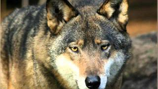 Download Tankman - Wolf MP3 song and Music Video