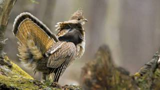 Voices: Ruffed Grouse