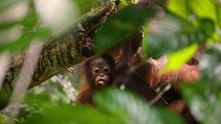 Volunteering with Orangutans on The Great Orangutan Project in Borneo!  |  The Great Projects
