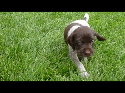 60 Seconds Of Cute German Wirehaired Pointer Puppies!