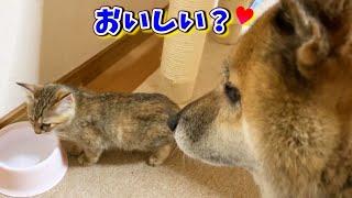 自分もお水を飲みたいのに先に子猫に飲ませてあげる優しい柴犬 He  is sweet to kitten.