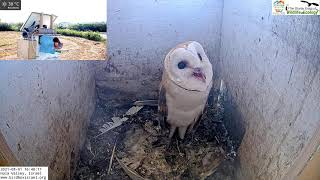 The barn owl nestling is alert as the pigeons are close| Barn Owl Israel Cam 4|תנשמות|1.8.21