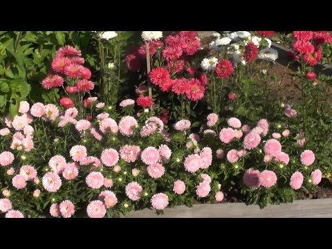 Проверенный сорт низкорослых астр: Розовый ковёр