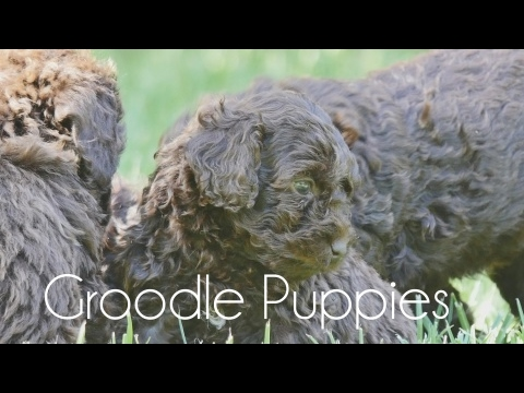 Groodle puppies Feb!!