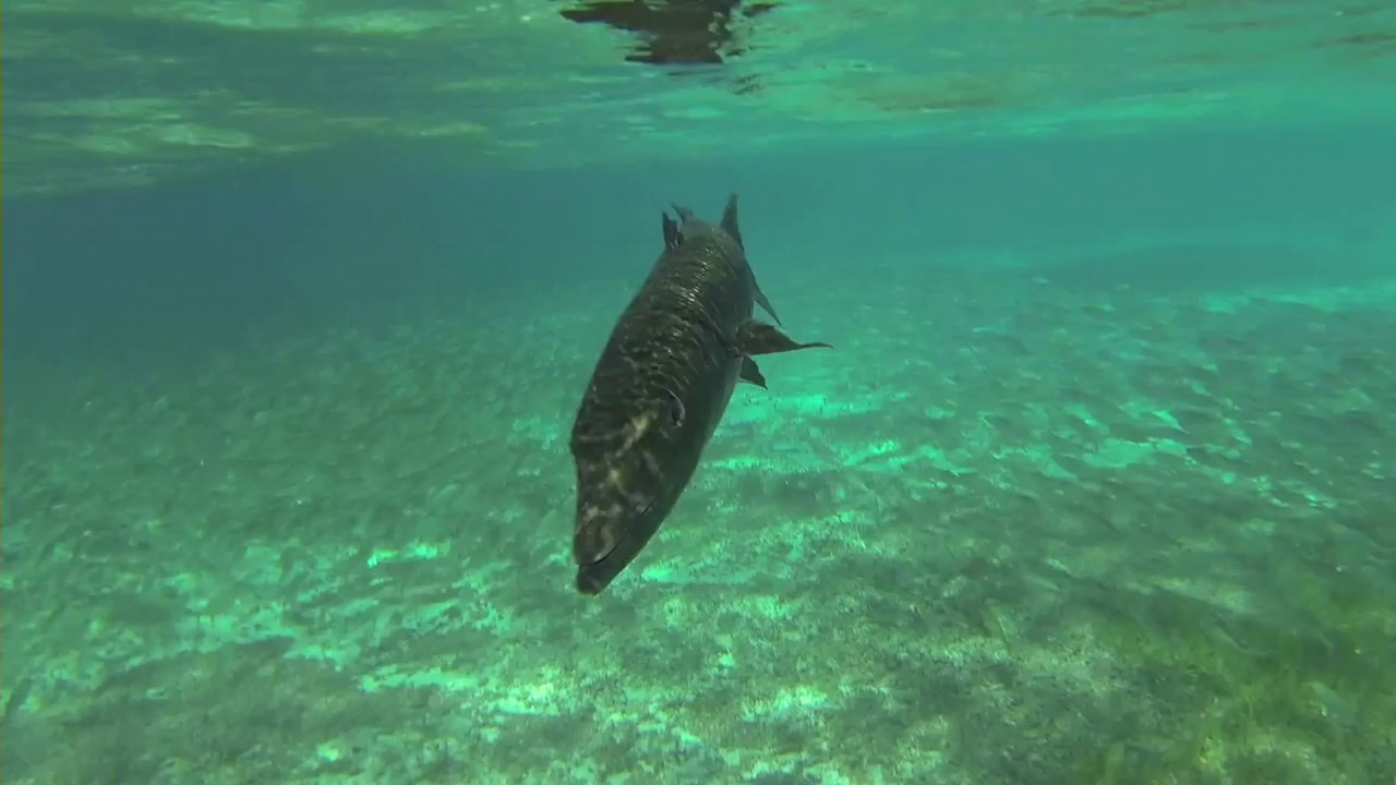 Barracuda attacks human - YouTube