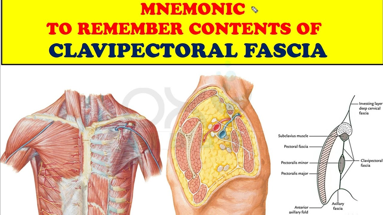 Mnemonic To Remember Contents Of Clavipectoral Fascia Youtube