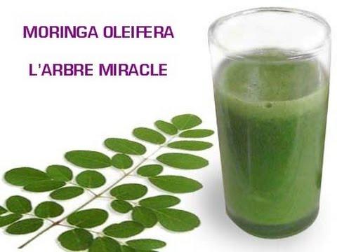 Moringa Oleifera   Arbre Miracle