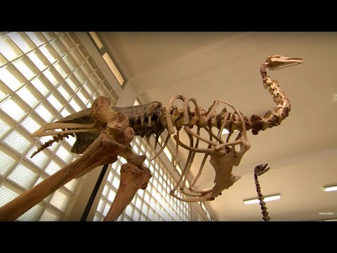 How tall was the Elephant Bird? - #AttenboroughWeek - Attenborough and the Giant Egg - BBC