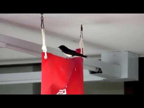 Barn Swallow Preening on Red Flag ツバメの巣立ち雛が羽ばたき練習(野鳥)