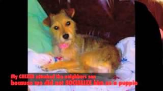 Chizer Dog - Chihuahua - Schnauzer Mix