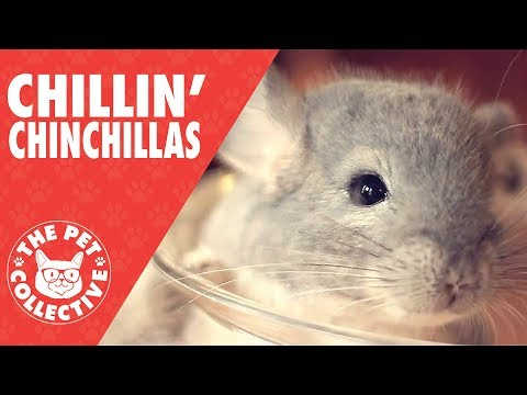 Chillin' Chinchillas Compilation