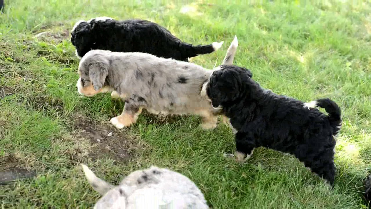 Delbert Millers Black And White Mini Bernedoodle Puppies For Sale