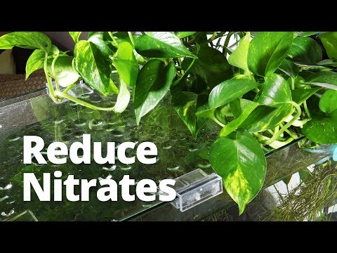 Adding Pothos To Improve Water Quality And Reduce Nitrates