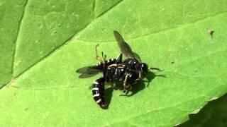 Square-headed Wasps (Crabronidae: Ectemnius or Crabro?) Mating Behavior, Part 1 of 2