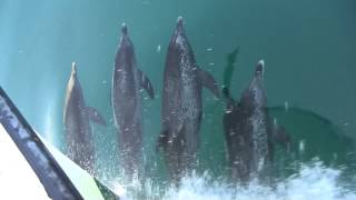 Dolphins in the Gulf of Mexico